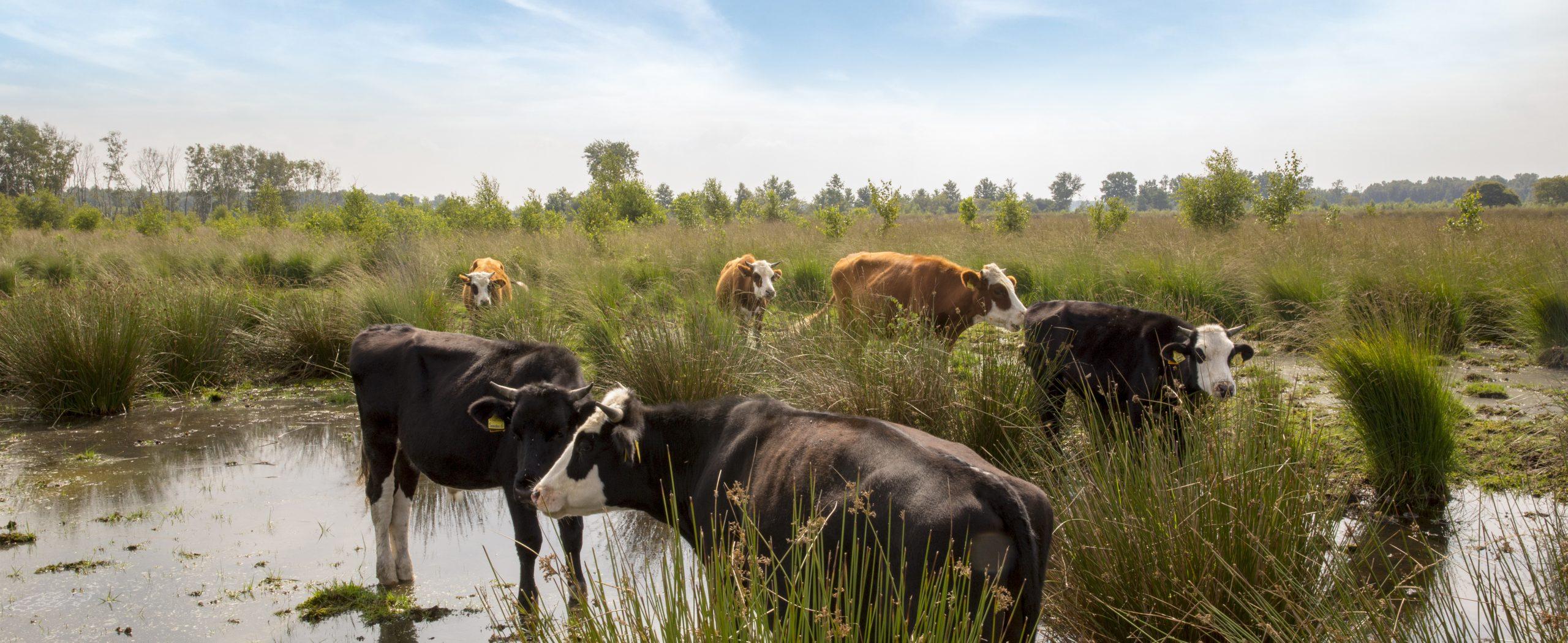 https://natuurboerenijs.nl/wp-content/uploads/2021/01/NatuurBoeren-�-Natuurgebied-�-Blaarkoppen-1.-scaled.jpg